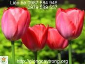 Củ Giống Tulip Ile de France