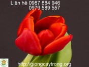 Củ Giống Tulip Strong Fire