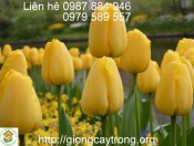 Củ Giống Tulip Strong Gold
