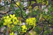 Hoa mai vàng - Sỉ lẻ mai vàng toàn quốc