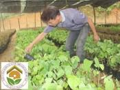Cây rau bò khai- giống đặc sản tây bắc giàu dinh dưỡng