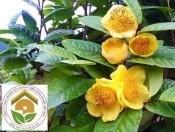 Cây giống trà hoa vàng| Công dụng và cách trồng