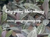Cây giống khôi nhung tía - Loại dược liệu chửa bệnh dạ dày