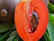 Cây giống hồng xiêm ruột đỏ -Học Viện Nông Nghiệp Việt Nam